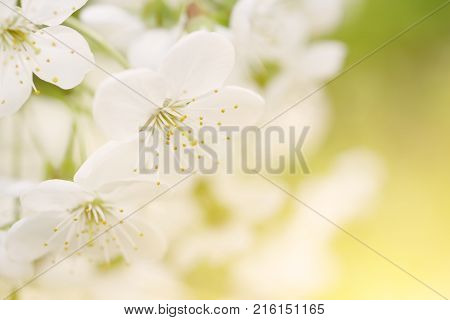 Blossoming of cherry flowers in spring time with green leaves and copyspace, macro