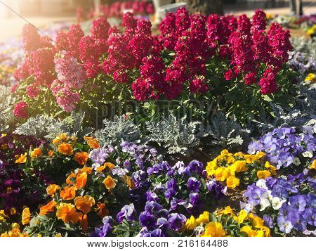Colorful for get me not flower and pansy in the garden under sun light