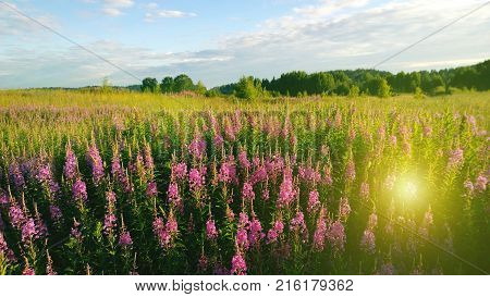 Beautiful field of flowers Ivan-tea and the sun's rays in summer warm day