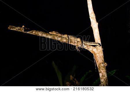 Big Lizard sleep through the night on the tree in the jungles of Borneo. Malaysia.