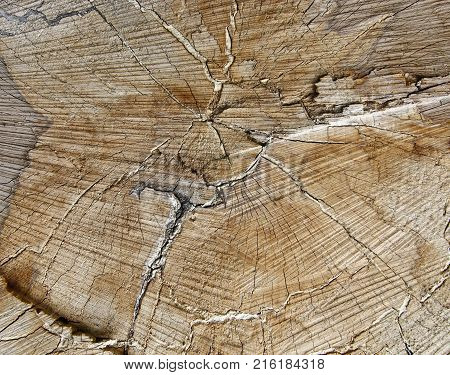 Wooden texture - cut of tree trunk