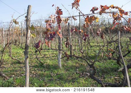 vineyard valley fruit plant farming nature fall foliage autumnal grapes branch. Vine with red and yellow leaves in autumn sunny day