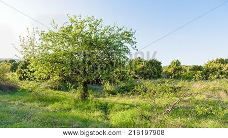 Bright sunshine on wild apple tree with big crown
