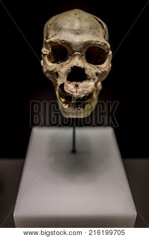 Madrid Spain - November 11 2017: Miguelon nickname for the most complete skull of an Homo heidelbergensis ever found. Found at Atapuerta Sima de los Huesos Burgos Spain. National Archeological Museum of Madrid