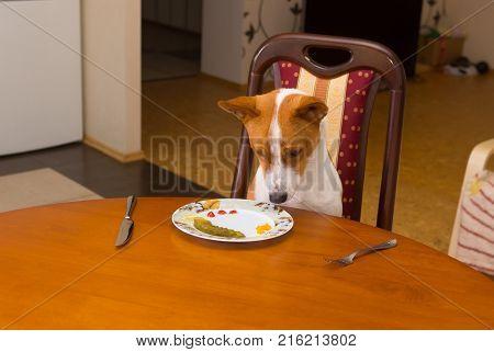 Cute Basenji is regretting for tasty beefsteak stolen from master's plate