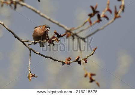 Chaffinch bird, Fringilla coelebs, songbird of the family of finches, bird on branch, distributed in Europe, Western Asia and North Africa, wild nature, macro. Ukraine. 2017.