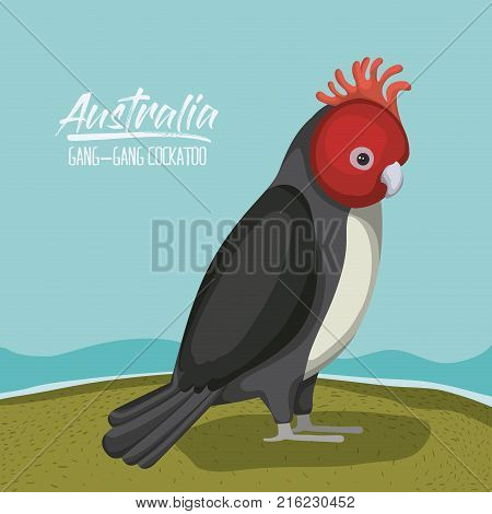 australia gang-gang cockatoo poster in outdoor scene on colorful silhouette vector illustration