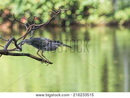 Birds are catching fish in the pond.(Little Heron, Striated Heron, Green-backed Heron)
