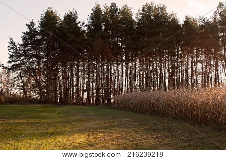 A distant tree line behind a cornfield with the winter dusk sunlight casting shadows on the grass