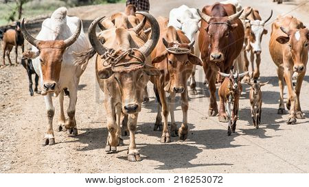 Omo valley Ethiopia - September 2017: Cows and cattle in the Omo Valley of Ethiopia