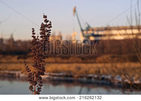 Dry inflorescence of winter weed (Rumex confertus asiatic dock) on the background of a blurred industrial landscape - a covered ship repair dock on the bank of the canal