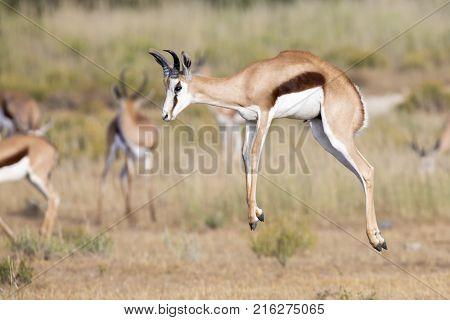 Springbok herd prancing happy on a plain in the Kgalagadi