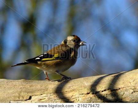 Goldfinch with autumn sky and trees in background