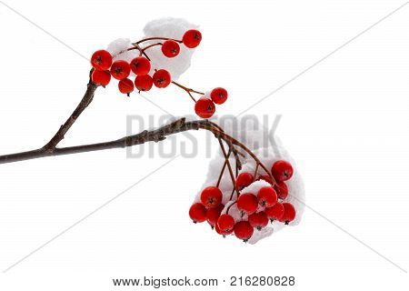 Berries of red mountain ash isolated on white background closeup