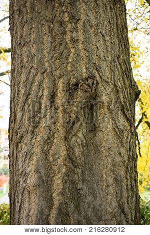 tree trunk of ginkgo biloba ginkgoaceae in fall season autumn