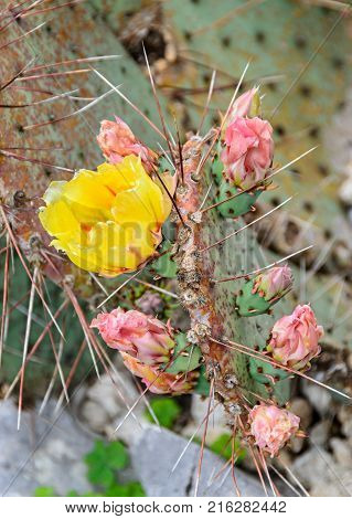Yellow Opuntia Humifusa Flower, Devil's-tongue (limba Soacrei), Eastern Prickly Pear, Indian Fig