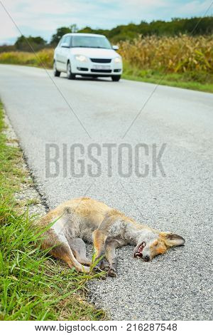 Dead Fox Beside Road