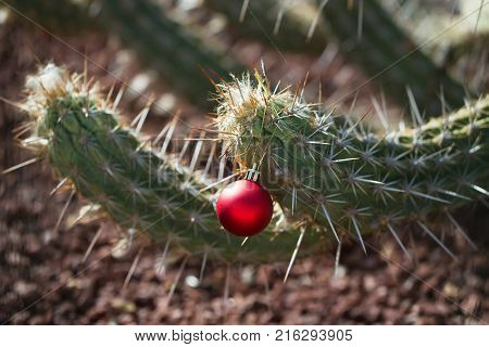 Green cactus or desert thorny plant with sharp spines with bright pink Christmas or new year ball bauble outdoors on blurred stony background
