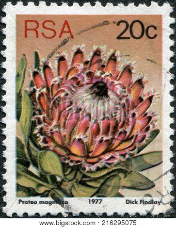 SOUTH AFRICA - CIRCA 1977: A stamp printed in South Africa (RSA), a flower bush Protea magnifica, circa 1977