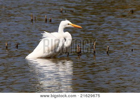 Snowy Egret waiting to spear a fish in the lake poster