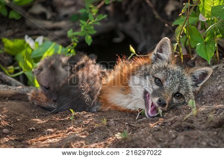 Grey Fox (Urocyon cinereoargenteus) Vixen With Kits Climbing Over Her - captive animals