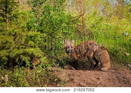 Red Fox (Vulpes vulpes) Vixen Stands at Den - captive animals