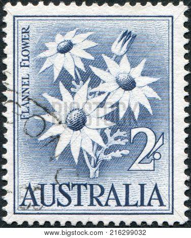 AUSTRALIA - CIRCA 1959: A stamp printed in Australia, shows Flannel Flower (Actinotus helianthi), circa 1959