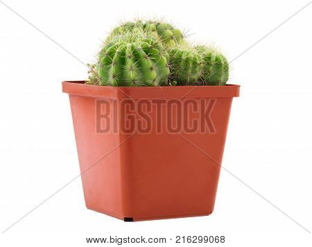 Several small round green cacti grow in a small brown flower pot. Isolated on white background.