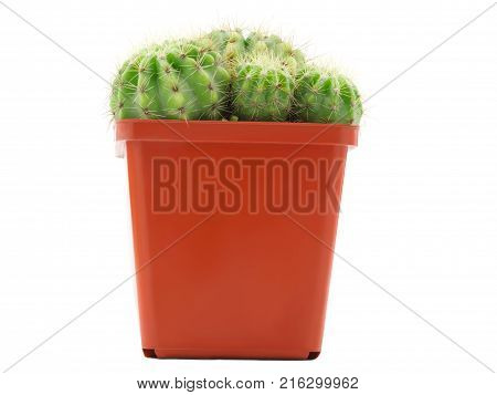 A green cactus with several small appendages grow in one small brown pot. Isolated on white background. Side view.
