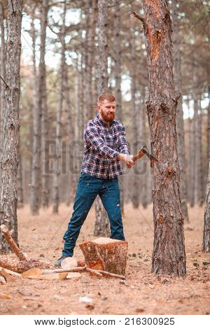 A woodcutter with a red beard and hair, in a checkered shirt, chop wood with an ax in the autumn forest. Outdoors.