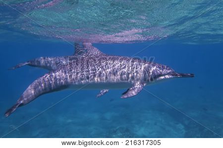 Dolphin in dappled sunlight at surface of ocean in close up profile.