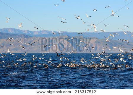 Feeding frenzy above the ocean off the coast of California with sea birds and dolphins.