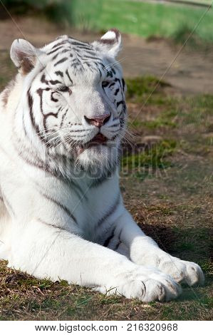 Portrait white bengal tiger close up. Calm muzzle with closed eyes