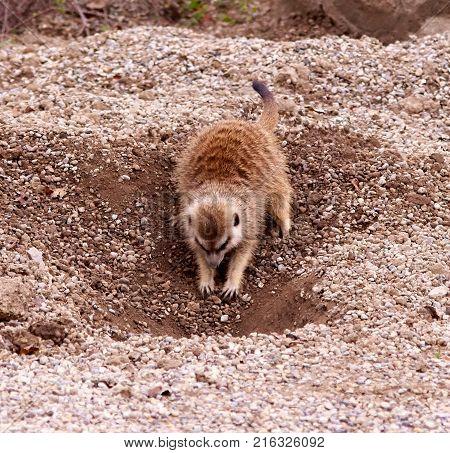 Cute small meerkat digging in gravel dirt.