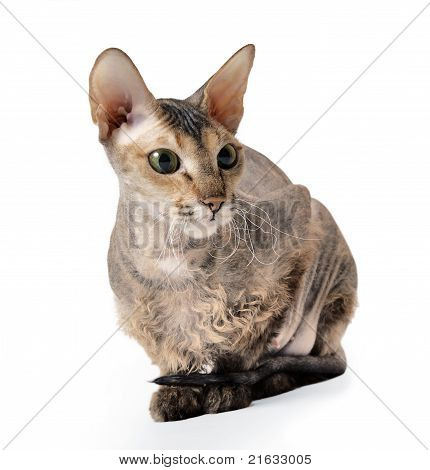 cute hairless oriental cat isolated on white poster