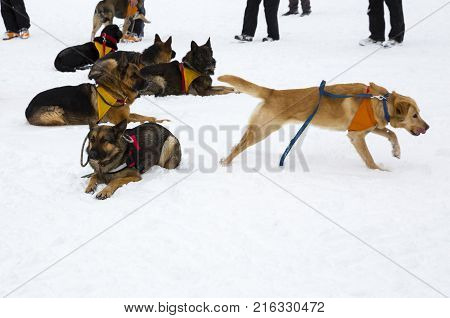 Rescue dogs from Mountain rescue service organization participate in a training for finding people buried in an avalanche. Both men and animals are trained before going on duty.