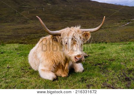 Scottisch Highland cow posing for the photographer