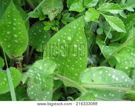 Pulmonaria officinalis plant in a little garden