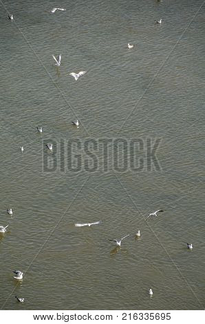 Colony of seagulls on the Irtysh River Omsk region Siberia Russia