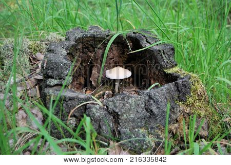 Mushrooms in the forest Omsk region Siberia Russia