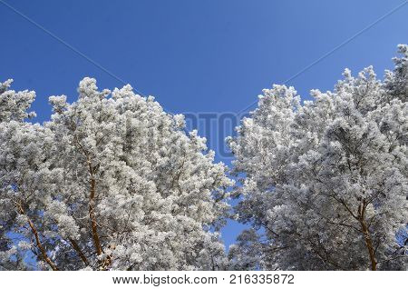 Plants covered with snow Omsk region Russia