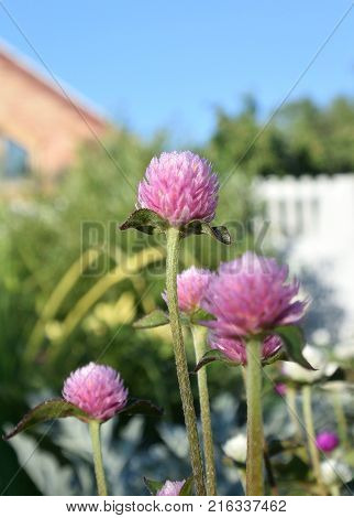 Clover on the flower bed. Omsk region Siberia Russia