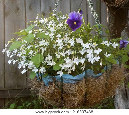 White lobelia in the flower pot Omsk region Siberia Russia