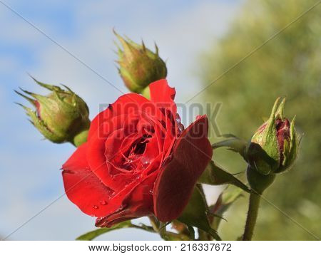 Red rose and three buds. Omsk region Russia
