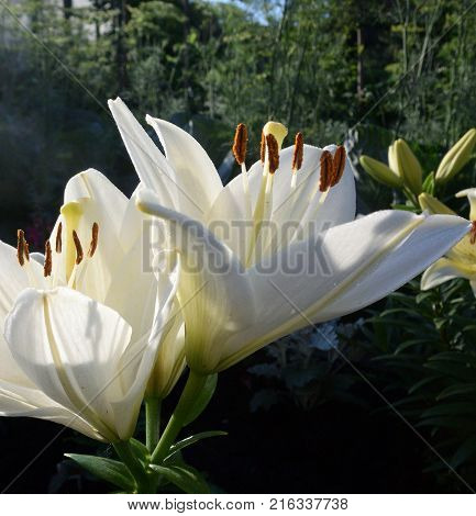 Flowers white lily. Omsk region Siberia Russia
