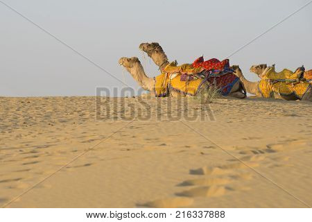 Rajasthan travel background - Indian camel (camel drivers) with camels in dunes of Thar desert on sunset. Jaisalmer Rajasthan India