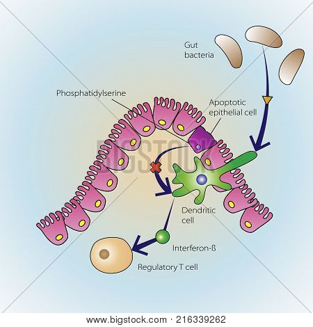 The process of epithelial cells dying in regulation of the immune system medical illustration
