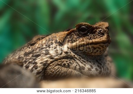 Close up image of Cane toad or Rhinella marina with blurred green background