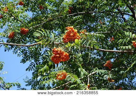 Sorbus aucuparia leafage and fruits against the sky