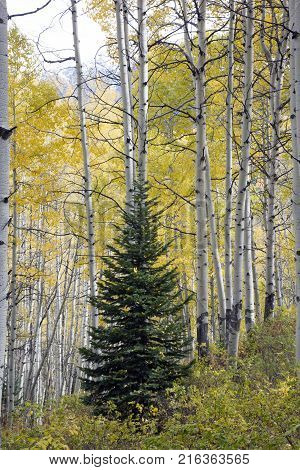 Conifer tree in the middle of Aspen trees in Kebler Pass near town of Crested Butte Colorado America in the Autumn Fall